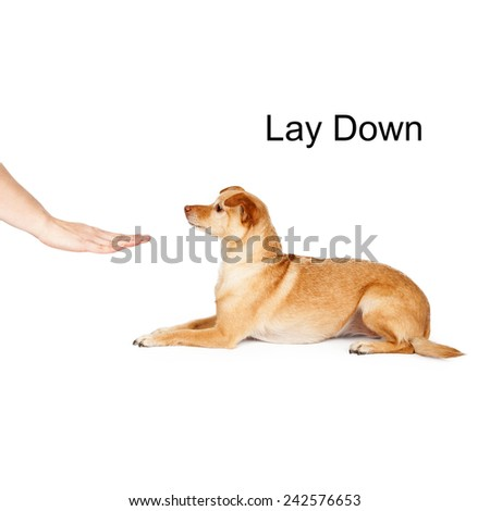 A person giving a hand signal to a little Chihuahua mixed breed dog for the command of lay down. - stock photo