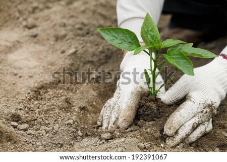A person smoothing dirt around a newly planted plant. - stock photo