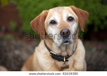 A pet golden labrador dog wearing collar and id tag.  Looking straight at the camera with a shallow depth of field. - stock photo