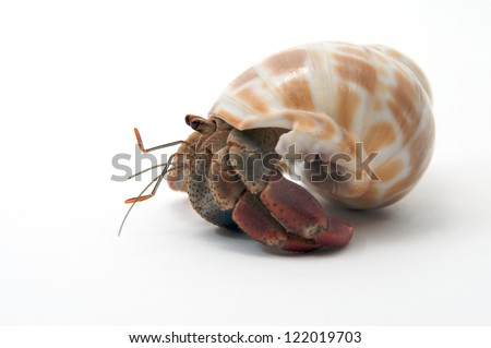 A pet hermit crab rests isolated on white faces left. - stock photo