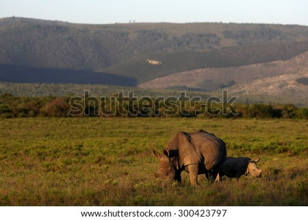 A photo of a female rhino / rhinoceros and her calf. Showing off her beautiful horn. Protecting her calf. South Africa - stock photo