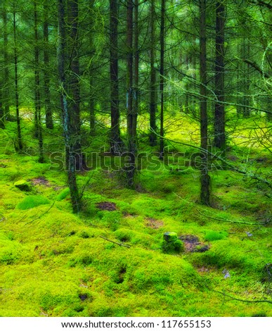 A photo of a pine forest an early morning in autumn - stock photo