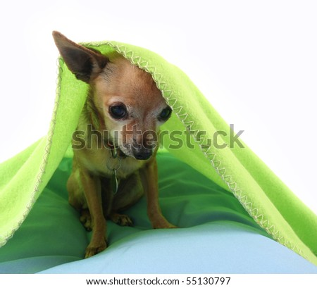 a photo of a tiny cute chihuahua - stock photo