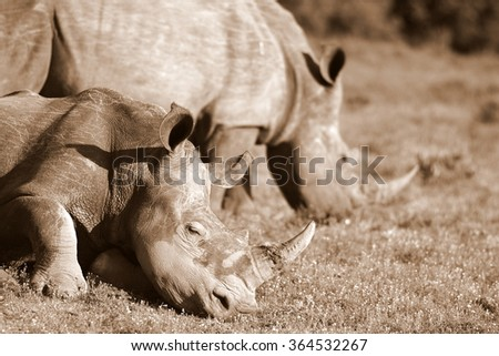 A photo of a white rhino / rhinoceros resting while another grazes. South Africa - stock photo