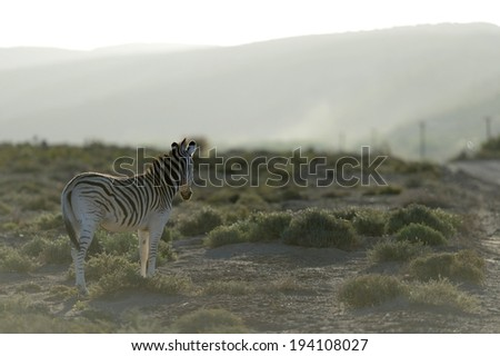 A photo of a zebra in its natural habitat - stock photo
