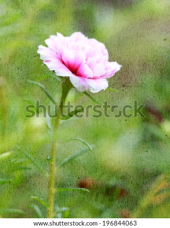 a photo of close up portulaca flower in the garden - stock photo