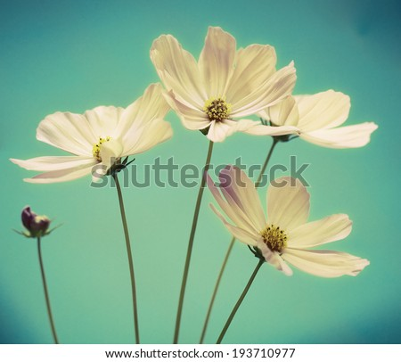 a photo of cosmos flower on blue background - stock photo
