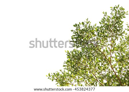 A photo of Green leaf on isolate white background, Branch of Terminalia ivorensis Chev on isolate white background - stock photo