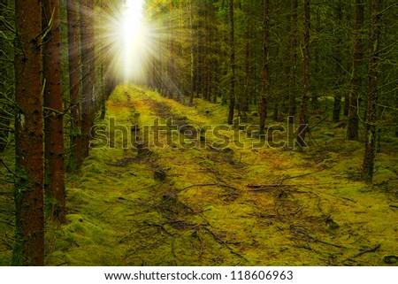 A photo of pine forest at sunset - stock photo