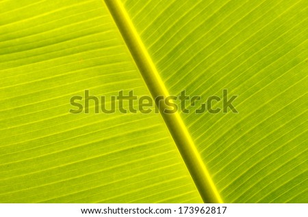 A photo of season of Banana leaves, Banana leaves. - stock photo