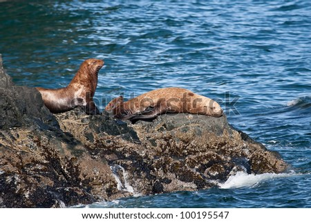 A photo of several Stellar Sea Lions resting on the rocky shore of the Prince William Sound coastal area of Alaska. - stock photo