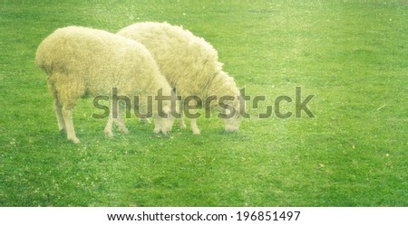 a photo of sheep in green field farm - stock photo