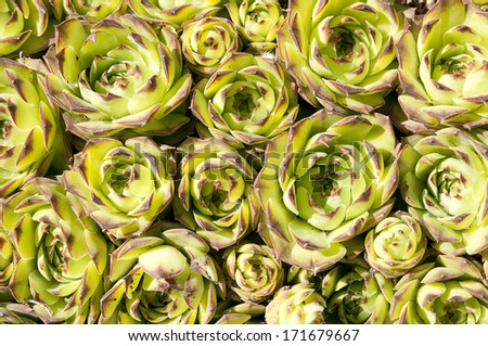 A photo of succulent echeveria rosettes - stock photo