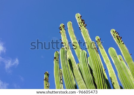 A photo of The Organ Pipe Cactus - stock photo