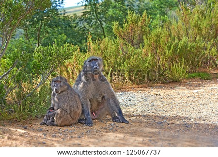 A photo of wild baboons by the roadside - stock photo
