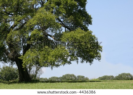 A photograph taken of a large shade tree in Oklahoma. - stock photo
