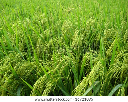 a photography shoot of asian paddy field, close up and high angle view. - stock photo