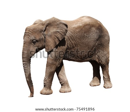 A picture of a big african elephant walking over white background - stock photo