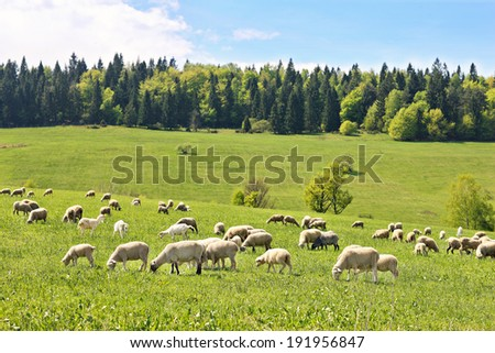 A picture of a flock of sheep in Polish mountains - stock photo