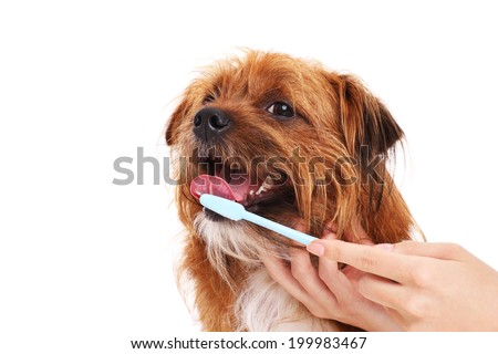 A picture of a happy dog having his teeth brushed over white background - stock photo
