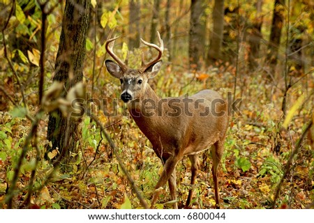 a picture of an adult male buck taken in the forest in indiana - stock photo