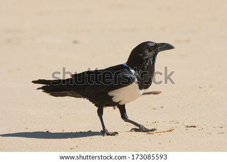 A Pied Crow (Corvus Albus) standing proudly on the beach - stock photo