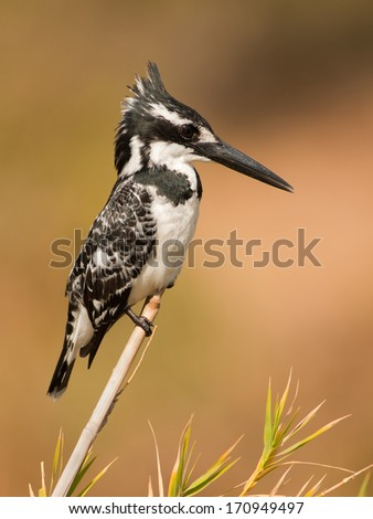 A Pied Kingfisher posing on a reed in Kruger National Park, South Africa - stock photo