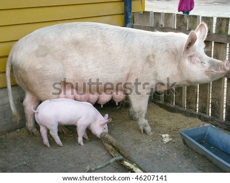 A pig with one of her piglets - stock photo