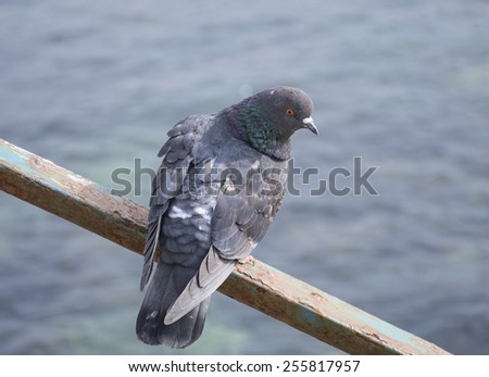A pigeon looks at a sea - stock photo