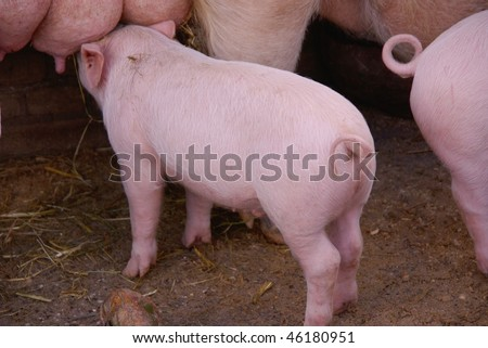 A piglet with a curling tail - stock photo