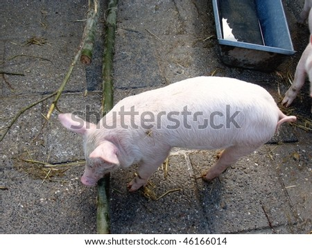 A pigling with a curling tail - stock photo