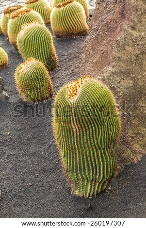 a pile of Echinocactus grusonii, cactus typical of southern hemisphere countries - stock photo