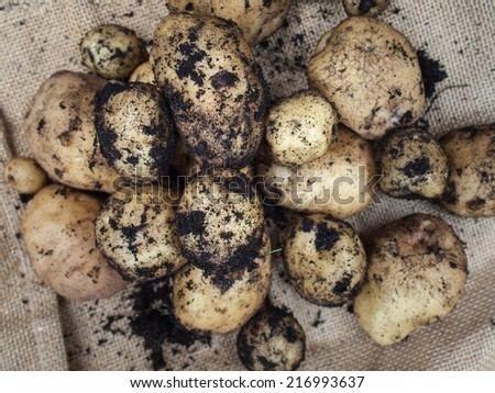 a pile of fresh new potatoes  with hessian sacking behind - stock photo