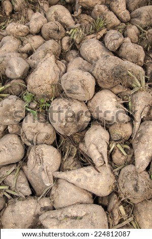 A pile of harvested sugar beets - stock photo