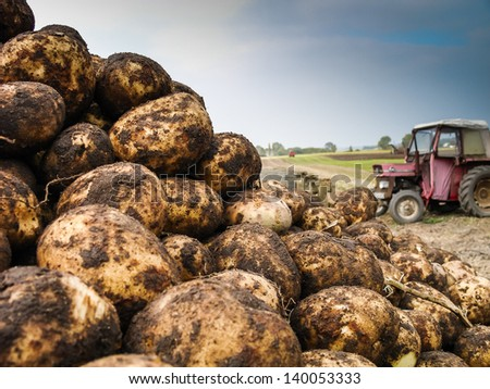 A pile of potatoes on a trailer with vintage tractor out of focus in background - stock photo