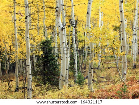 A pine tree within golden aspens in the Utah mountains, USA. - stock photo