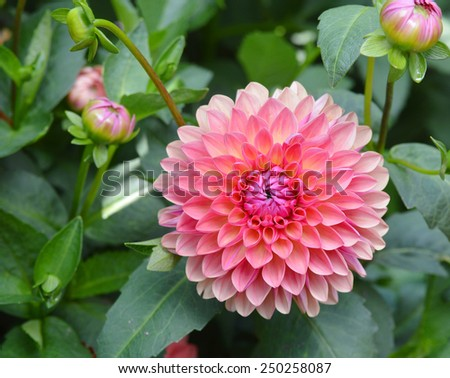 A pink dahlia flower - stock photo