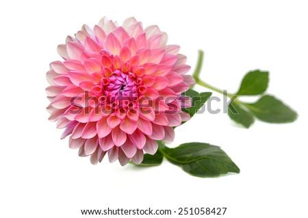 A pink fresh dahlia flower - stock photo