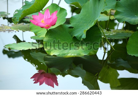 A pink lotus flower blooming among lush leaves with water reflection in a pond - stock photo