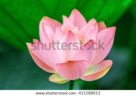 a pink lotus flower bud in fresh blossom against green foliage - stock photo