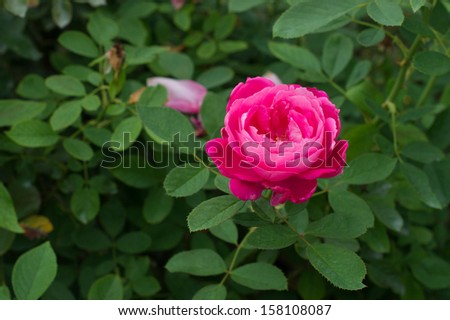 A pink rose with its leaves - stock photo