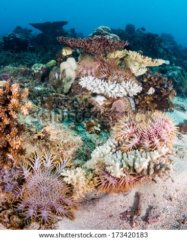 A plague of Crown of Thorns starfish attack a living coral reef - stock photo