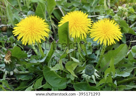 a plant of common dandelion with its flowering heads - stock photo