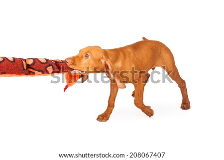 A playful and active young Vizsla breed puppy playing with a snake stuffed animal toy - stock photo
