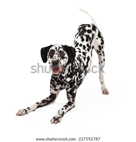 A playful Dalmatian Dog bowing with open mouth while looking forward. - stock photo
