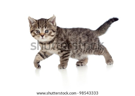 A playful kitten. British breed. Tabby. - stock photo