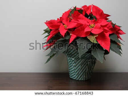 A poinsettia plant sitting a table with copyspace. - stock photo