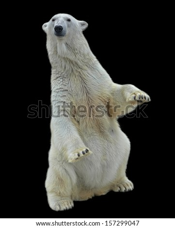 A polar bear female, sitting up straight with lifted forepaws, and isolated on black background. Wild beauty of the most dangerous and mighty beast of the world. Severe, but cute predator. - stock photo