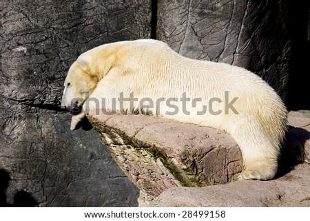 A polar bear in relaxing on a rock enjoying the sunshine - stock photo