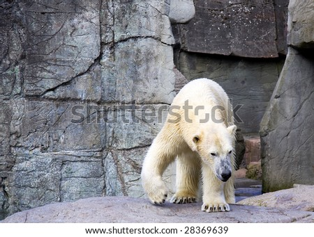 A polar bear is walking on rocks - stock photo